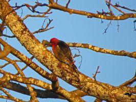 Ruby Headed Woodpecker In Tree by wolfwings1