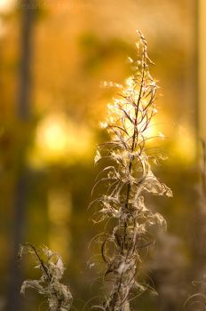 Glowing Fireweed by netrex