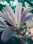 Pink Lily by Alex-the-therian