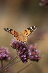 Butterfly.. by dorolain