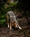 wolf16 by PictureByPali