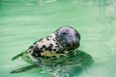 Relaxed Seal by myst111