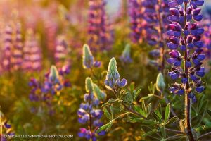 Lupine Light by MSimpsonPhotos