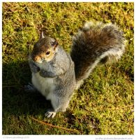 Waiting Grey Squirrel by In-the-picture