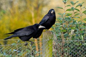 Gossiping Rooks.. by quaddie