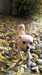 Luna That Chihuahua! by TheMysticFlight