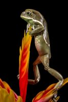 Painted Waxy monkey frog by AngiWallace