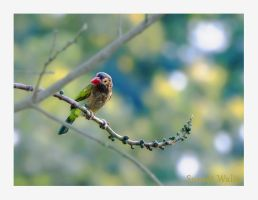 The brown headed barbet by freudian-slips