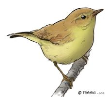 Common Chiffchaff by Tessig