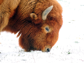 White Buffalo by coco-poof