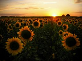 Sunflower Field: original by junshien