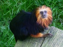 Tamarin Lion a tete doree - Golden lion Tamarin by AuroreMaudite09
