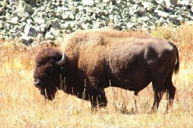 American Bison (Buffalo) by revack