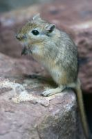 Gerbil Stock 05 by Malleni-Stock