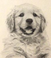 Golden retriever puppy by Isadorrah