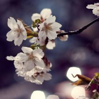 cherry blossoms by lia-minou