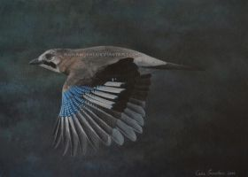 Eurasian Jay in flight by makangeni
