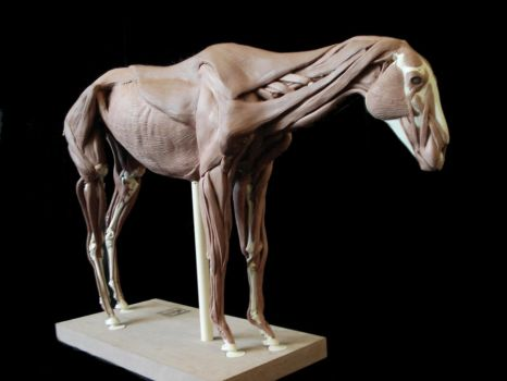 Horse anatomy: Surface muscles by weird-one