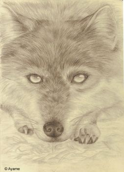 Wolf drawing by AvalonsAyame