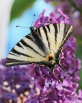 Scarce Swallowtail On Lilac II by SweepingShadows