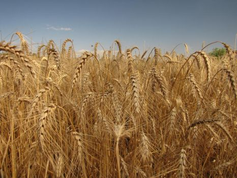 Wheat by Calcobrinus