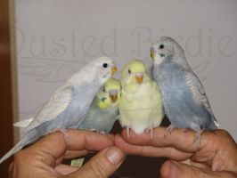 My Baby Budgies by dusted-birdie
