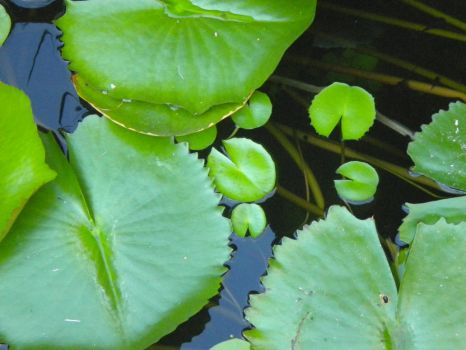 Lilly Pads by BerryBerryArty