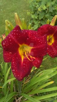 Red Day Lily by AleshaM