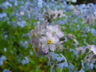 Pink Forget Me Nots by tobysq