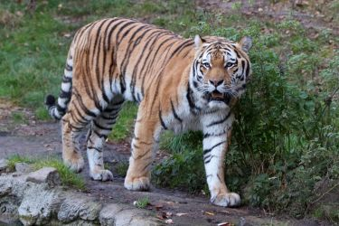 Tiger 04 Stock by lokinststock