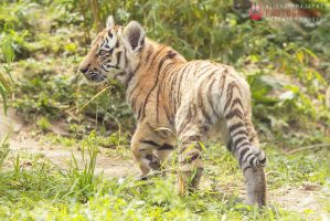 Walking tiger cub. by Ravenith