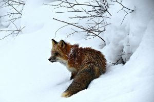 Fox in a Snow Bank by tracy-Me