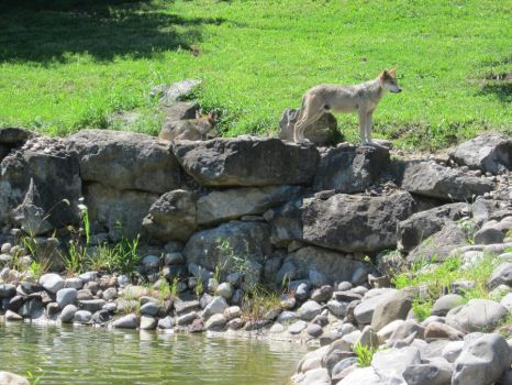 Mexican Grey Wolf II by MacabreVampire