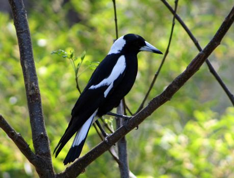 Australian Magpie by SpamDragon