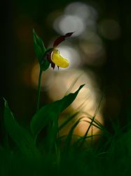 cypripedium sunset by mescamesh