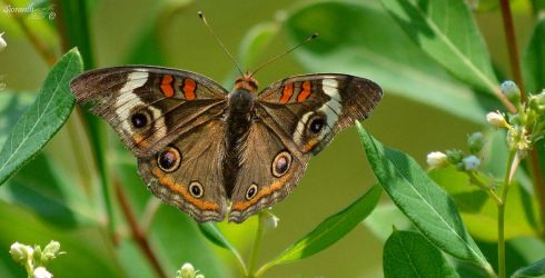 Butterfly Series (Buckeye) by sioranth