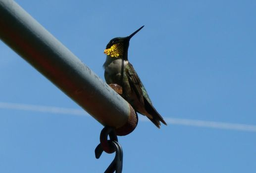 Hummers 4 by nature-geek