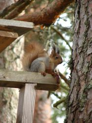 Squirrel with winter and summer coat by Daramoon