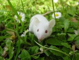 White mouse by RuthHarbi