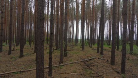 Just a pine forest 2 by maaaks1