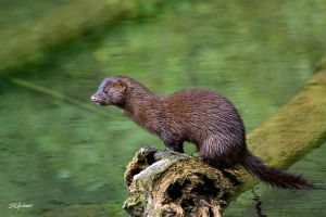 Another first.. Mink by DGAnder