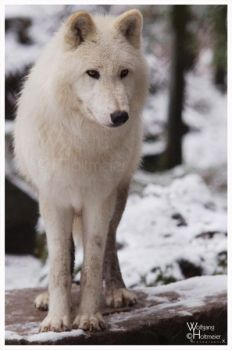 Snow, Wolf, Waitin by W0LLE