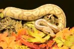 B.C. Ball Python*M - Enjoying Fall 7828 by creative1978