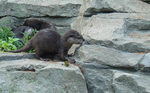 Asian 5 Clawed Otter 005 by Elluka-brendmer