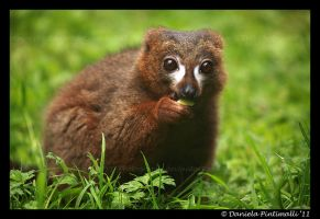 Red Bellied Lemur by TVD-Photography