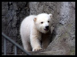 Polar bear by AF--Photography