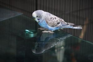 Budgie watches himself on the table by couinette