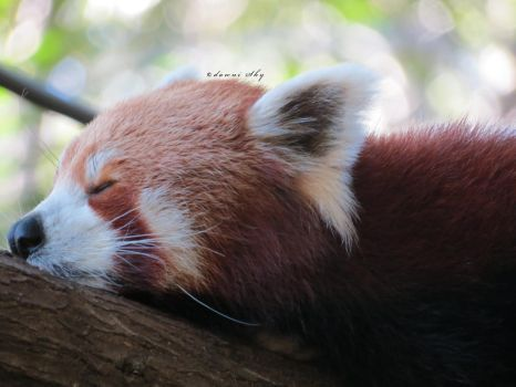 Sleepy (red) panda by camelopardalisinblue