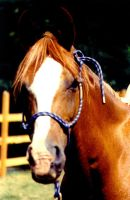 Stock Animal - Arab_QH by Carol-Moore