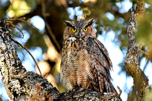 Submature Great Horned Owl by WildCodyPhotography